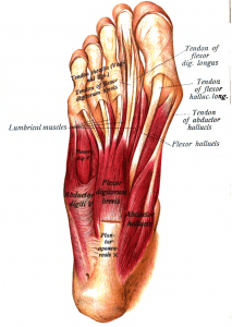 Names of foot muscles